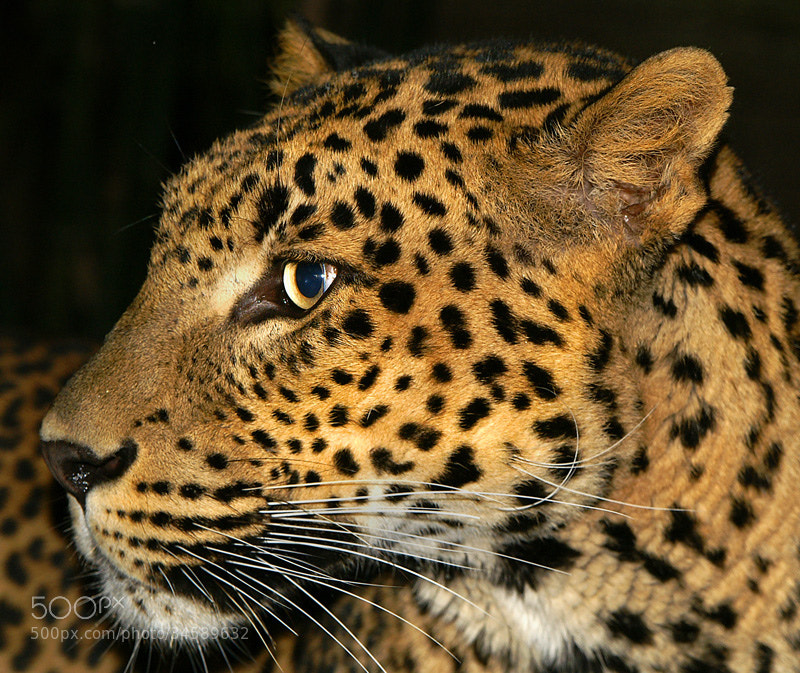 Photograph Leopard by John More on 500px