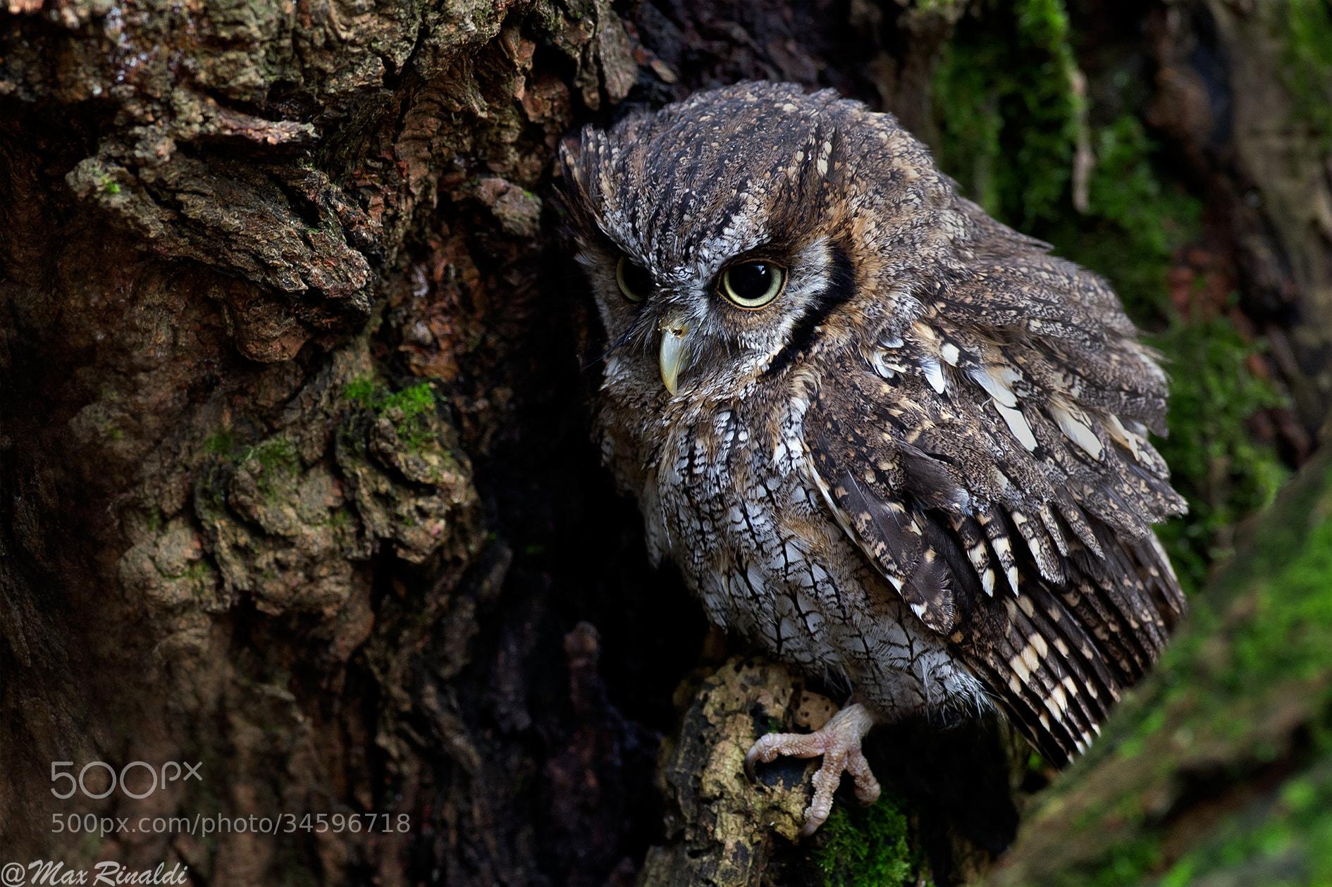 Photograph Screech Owl by Max Rinaldi on 500px
