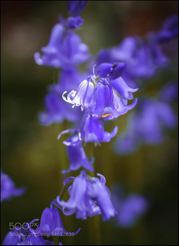 Photograph Blue bells by Kerim Hadzi on 500px