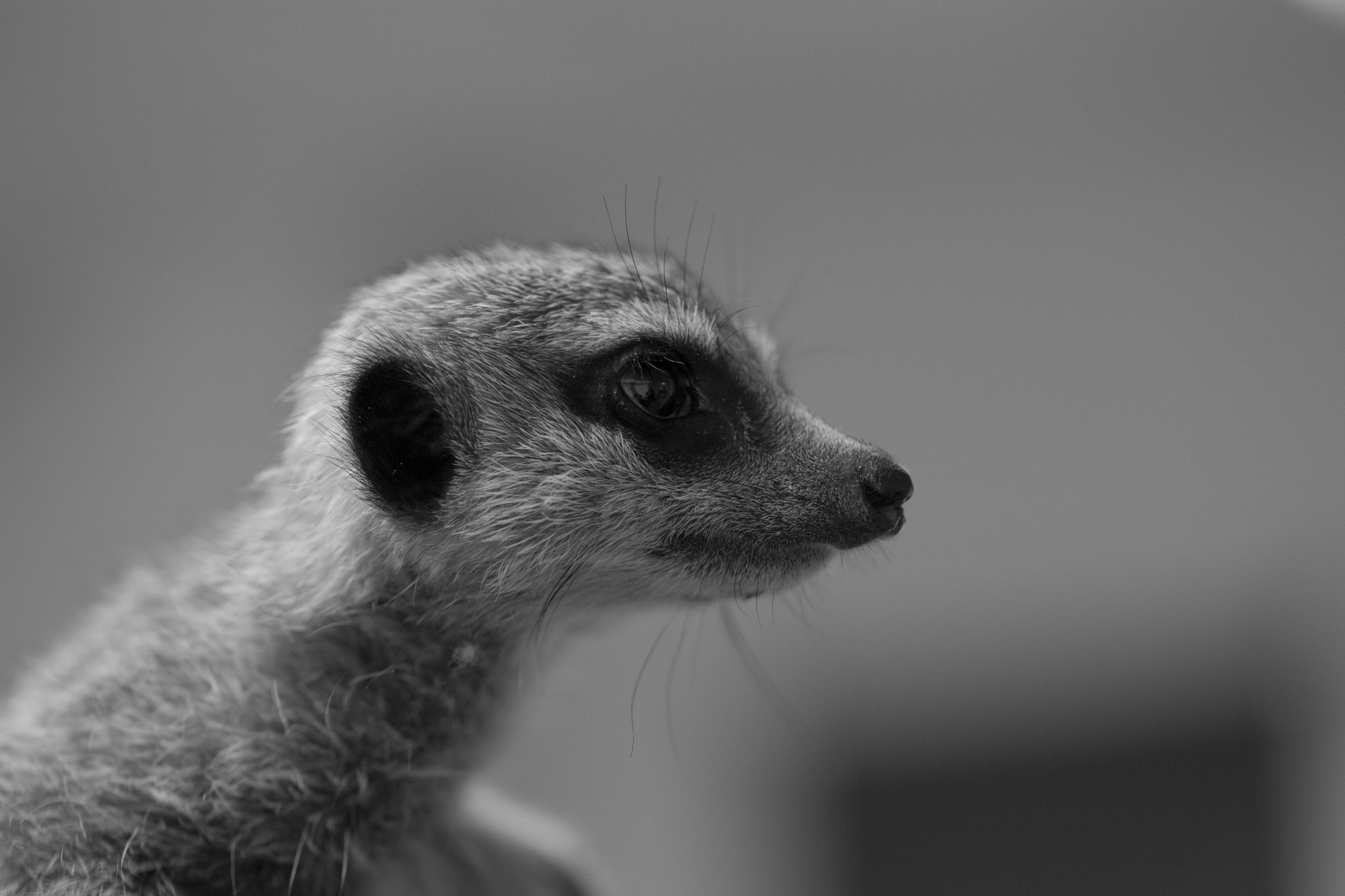 Photograph Baby Meerkat - Simples! by Naomi Turner on 500px