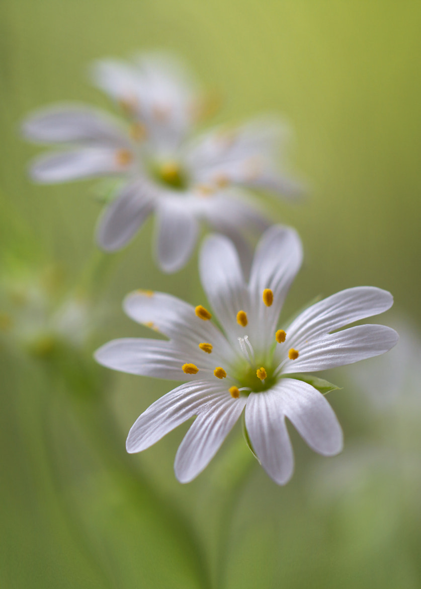 Photograph Stitchwort by Mandy Disher on 500px