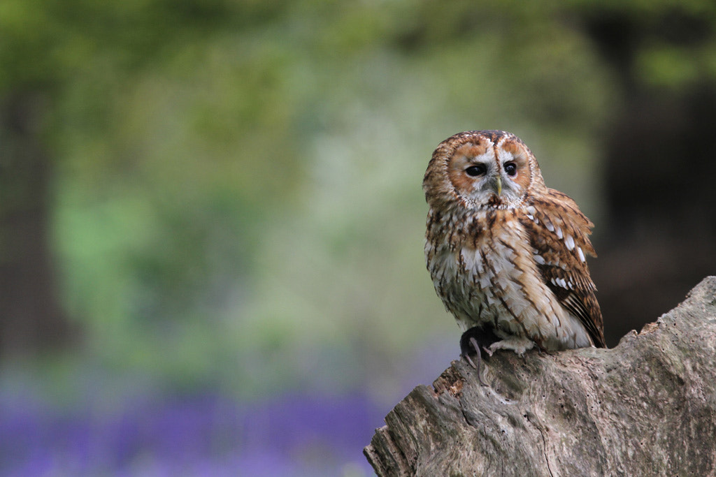 Photograph Tawny Owl on Tree Stump by Pat Walker on 500px