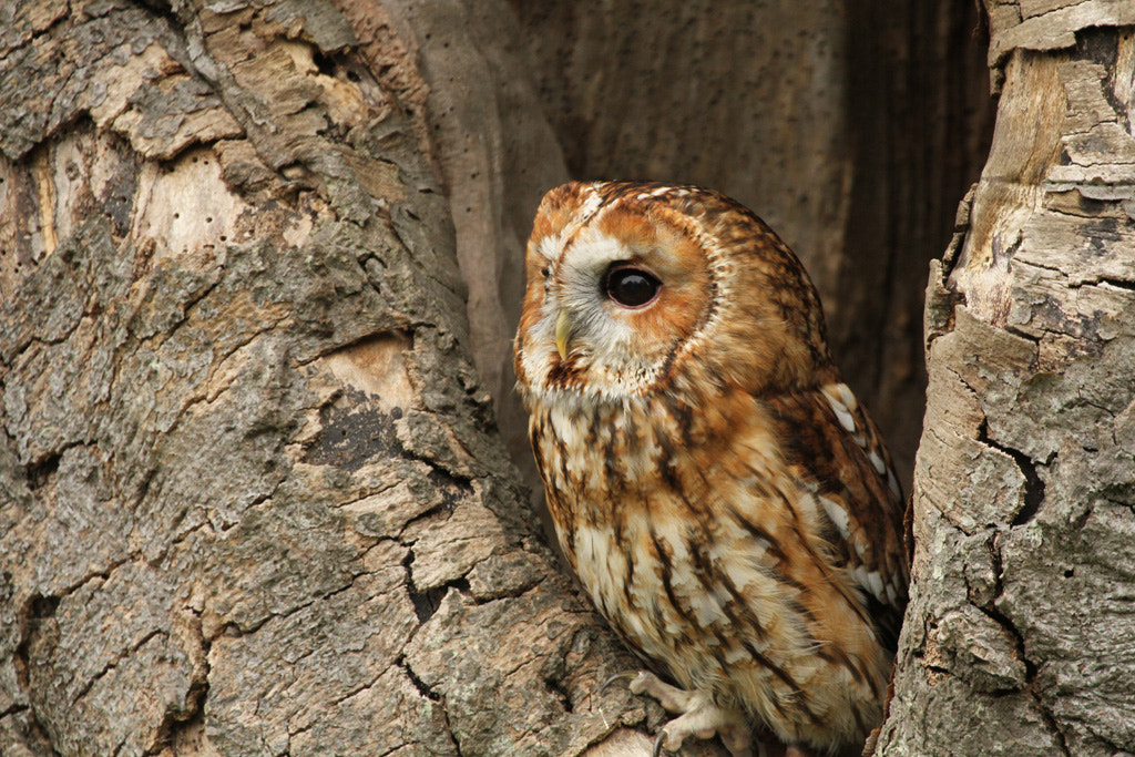 Photograph Tawny Owl  by Pat Walker on 500px