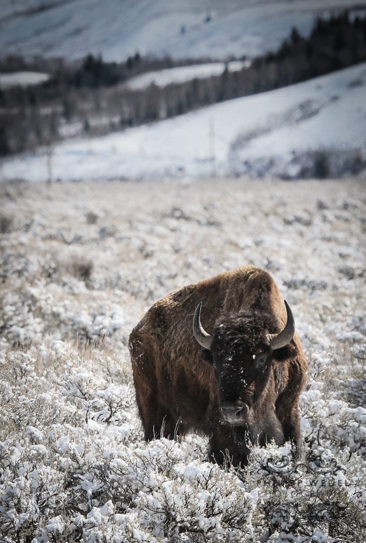 Photograph Bison in Snow by Philipp Wedel on 500px
