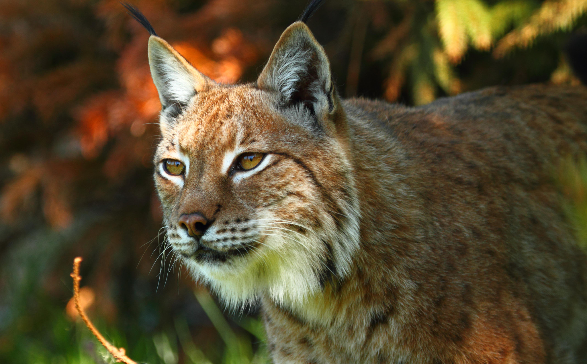 Photograph Lynx by Lee Crawley  on 500px