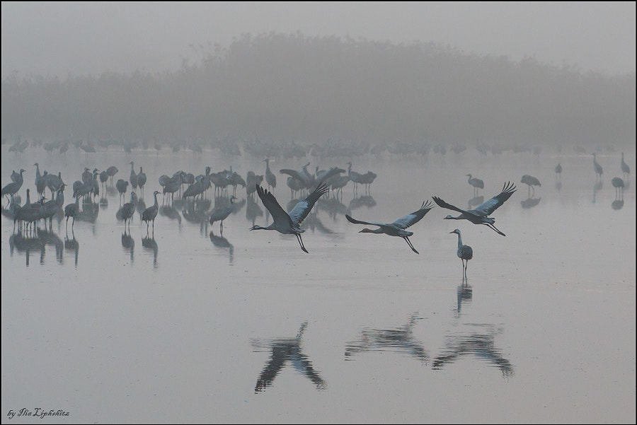 Common Cranes in mist №4
