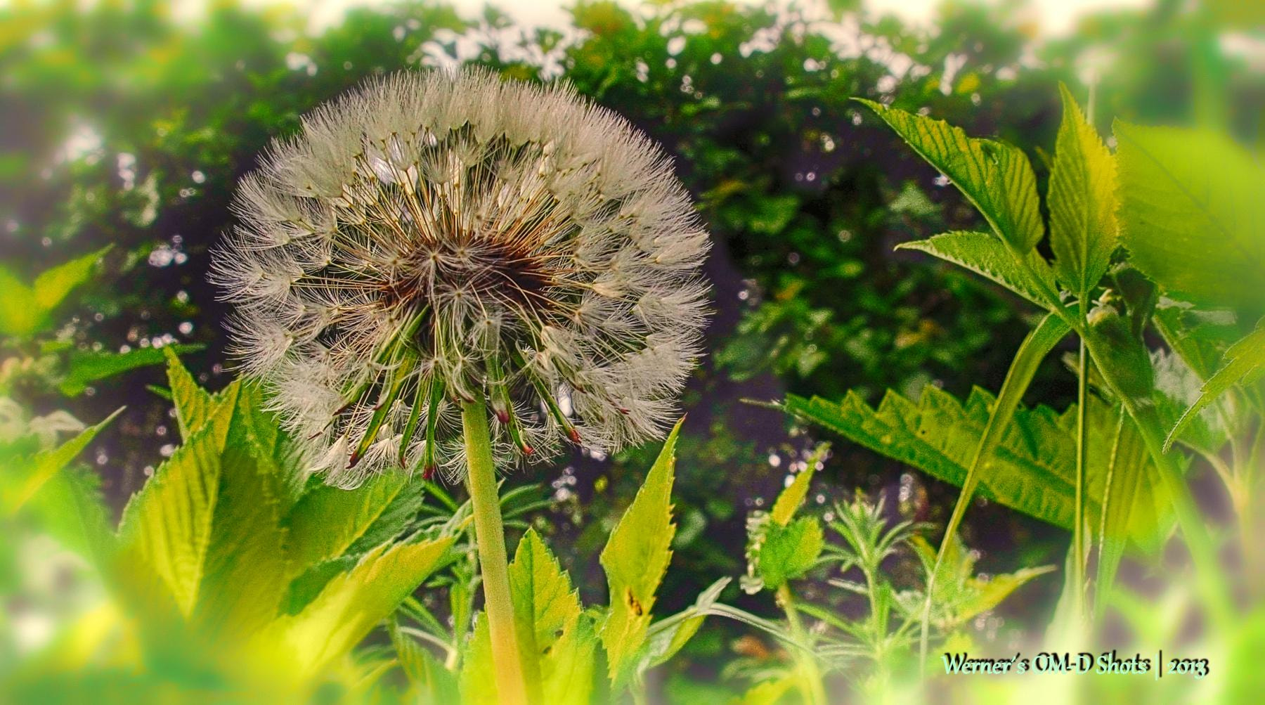 Photograph Dandelion by Werner S. on 500px