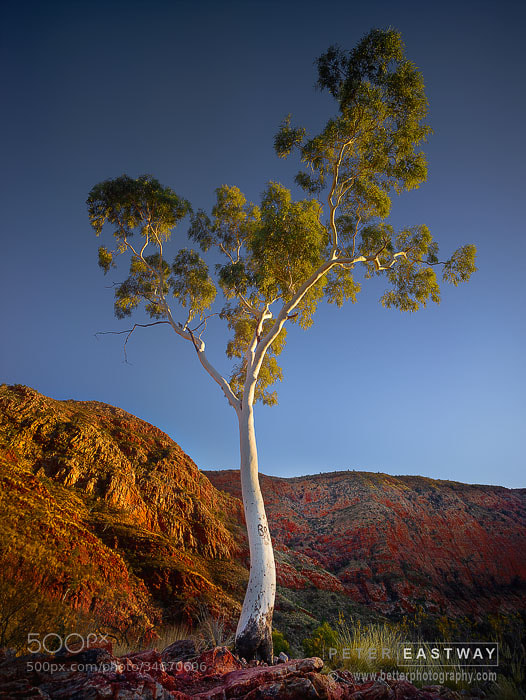 Photograph Ormiston Gum by Peter Eastway on 500px