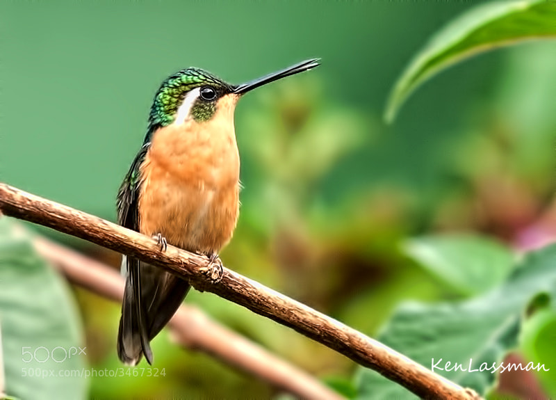 One of the more numerous species of Hummingbird at Sevegre, Costa Rica