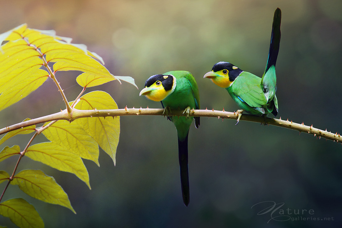 Photograph Long-tailed broadbill by Sasi - smit on 500px