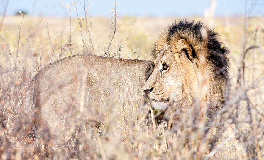 this beautiful Kalahari lion was mating with a female just next to the road. He´s got the perfect camouflage for this environment.