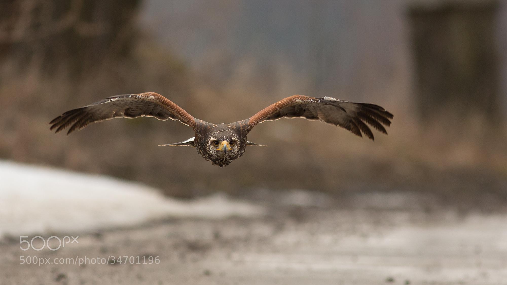 Photograph Harris´s Hawk by Milan Zygmunt on 500px