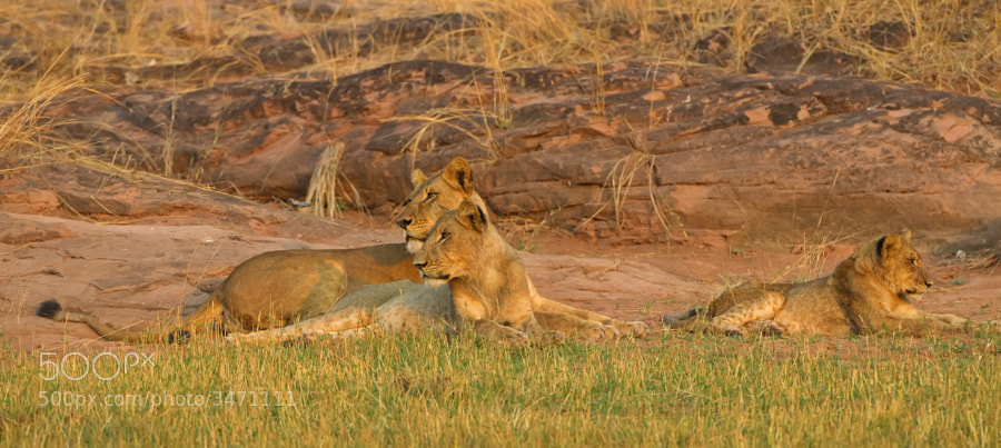 A group of sub-adult lions rest on the shore of Lake Kariba, Matusadona National Park, Zimbabwe