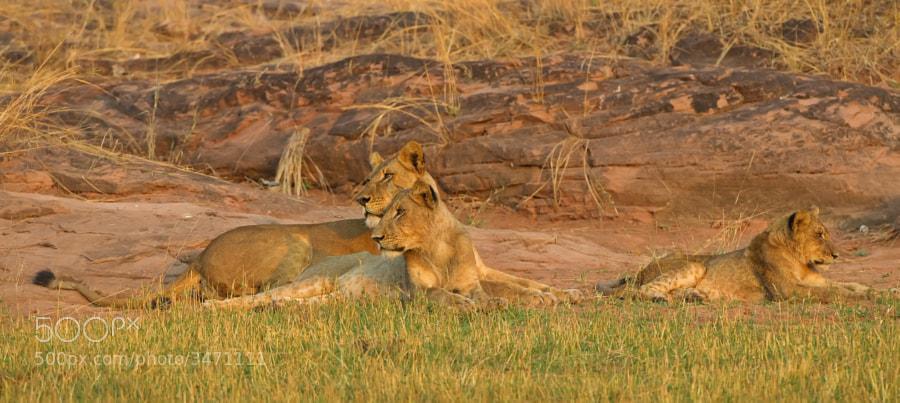 A group of sub-adult lions rest on the shore of Lake Kariba, Matusadona National Park, Zimbabwe