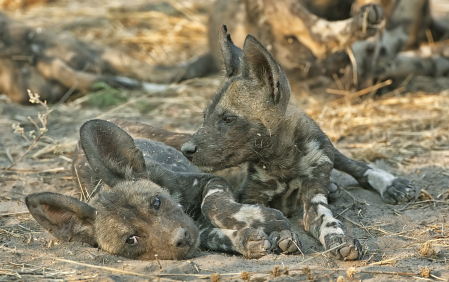 These pups formed part of a n unusual situation in wgich both the Alpha female and another female in the pack had pups in the same year. Taken in Mapula concessiom, Botswana