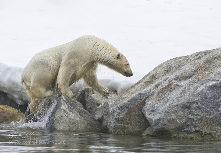 A Polar Bear gets out of the freezing waters around Svalbard, Norway