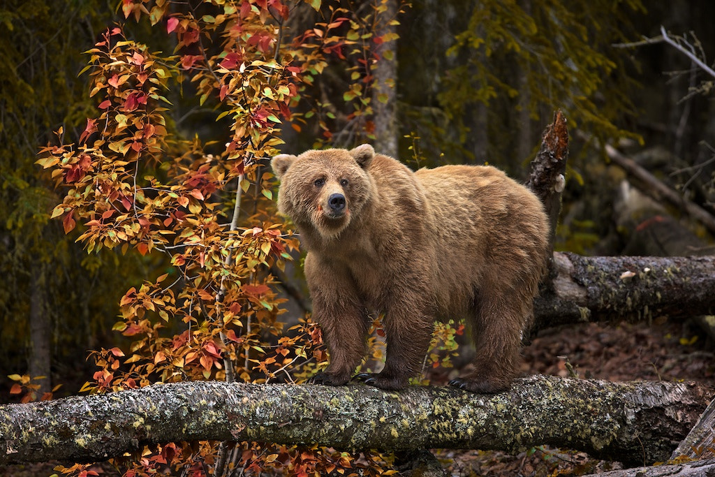 Photograph Momma Grizzly Here II by Buck Shreck on 500px