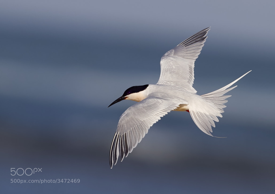Photograph Roseate Tern by Gregg Darling on 500px
