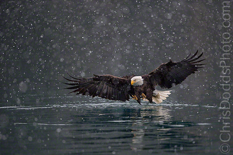 Photograph Bald Eagle Winter DreamScape by Christopher Dodds on 500px