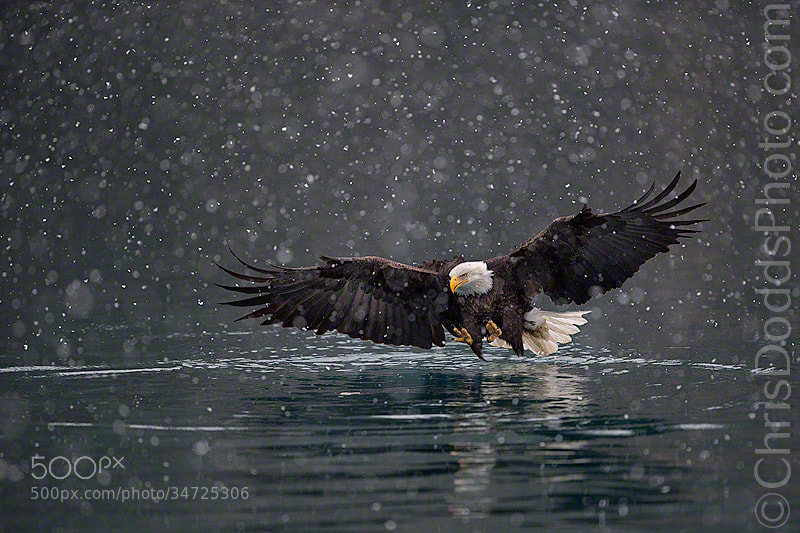 Bald Eagle Winter DreamScape by Christopher Dodds