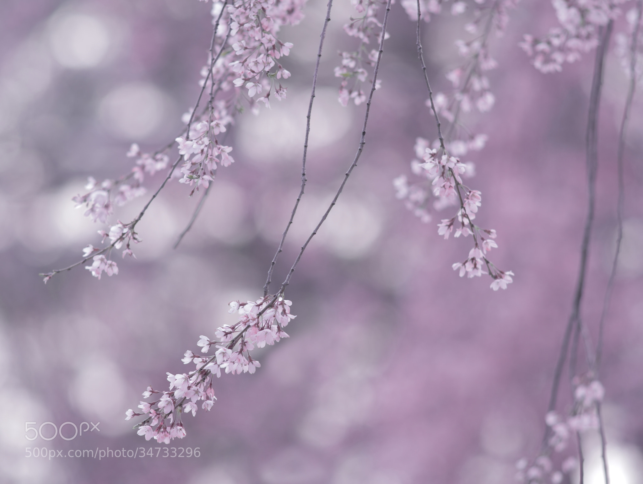 Photograph Lyric poetry of spring  by Shihya Kowatari on 500px