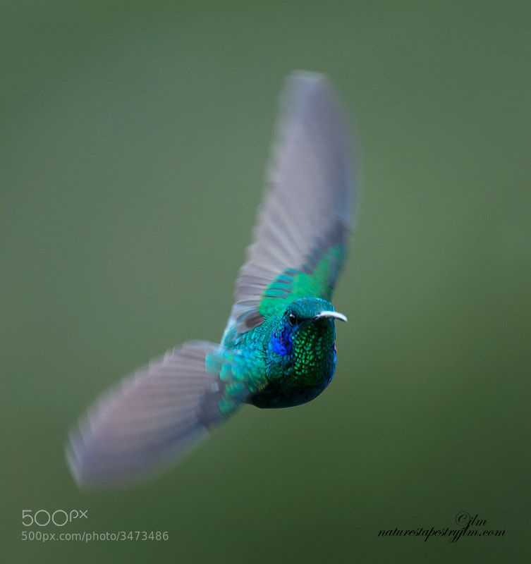 Captured this beautiful green violet ear hummingbird flying towards me.  This is another image from 'Savegre , Costa Rica.