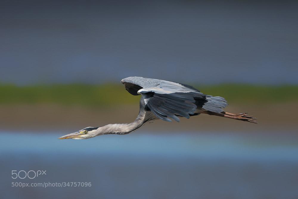 Photograph Grey Heron by Nigel  Pye on 500px