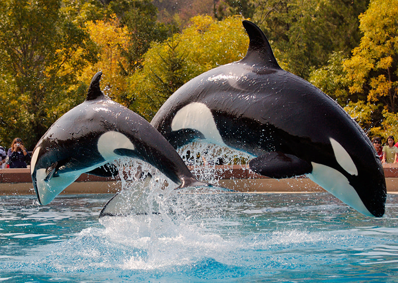 Photograph Killer whales by Robert Dewar on 500px