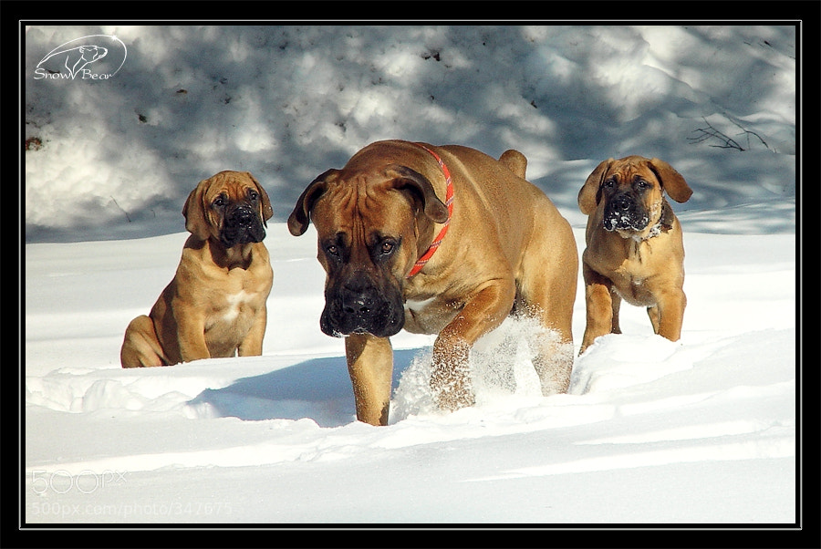 Photograph Father (south african boerboel in Russia) by Snow Bear on 500px