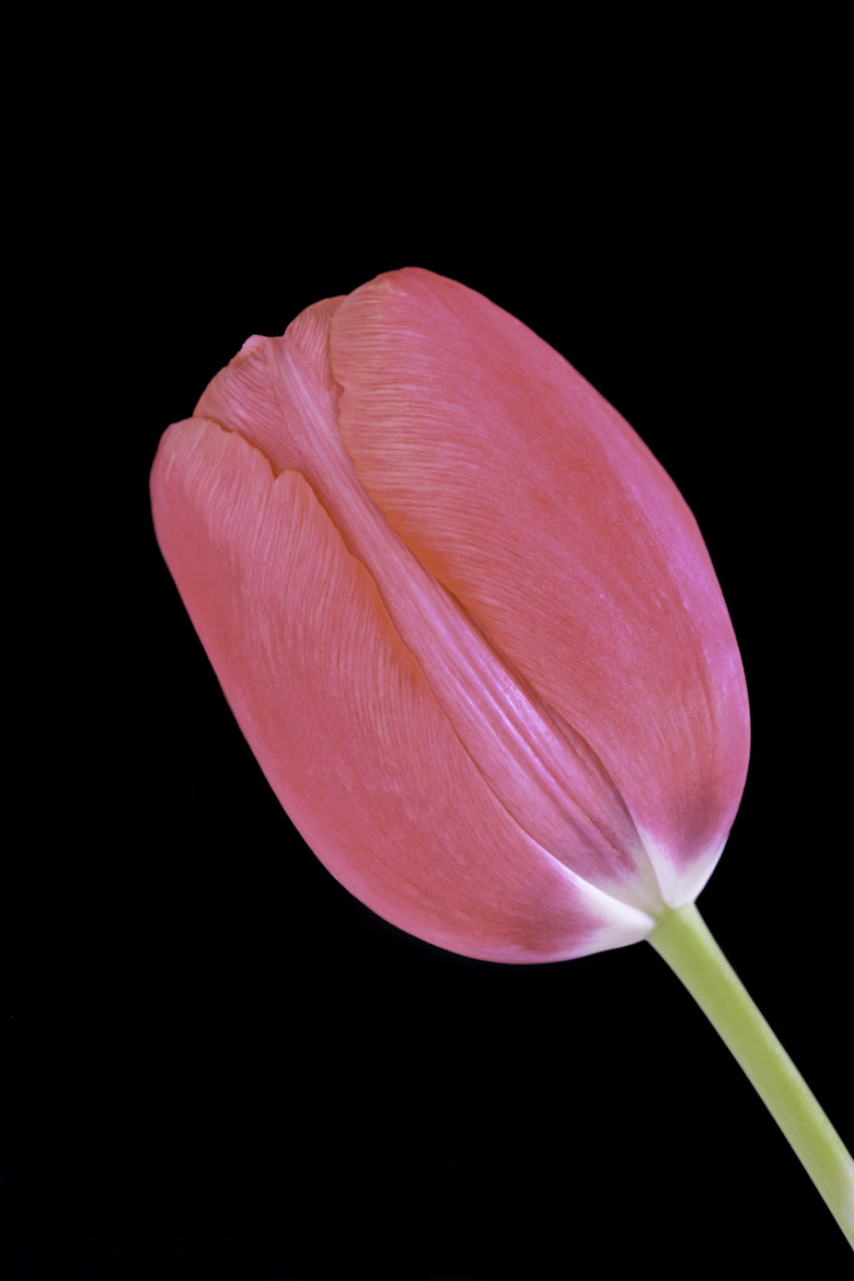 Photograph Tulpe by Michael Eggers on 500px