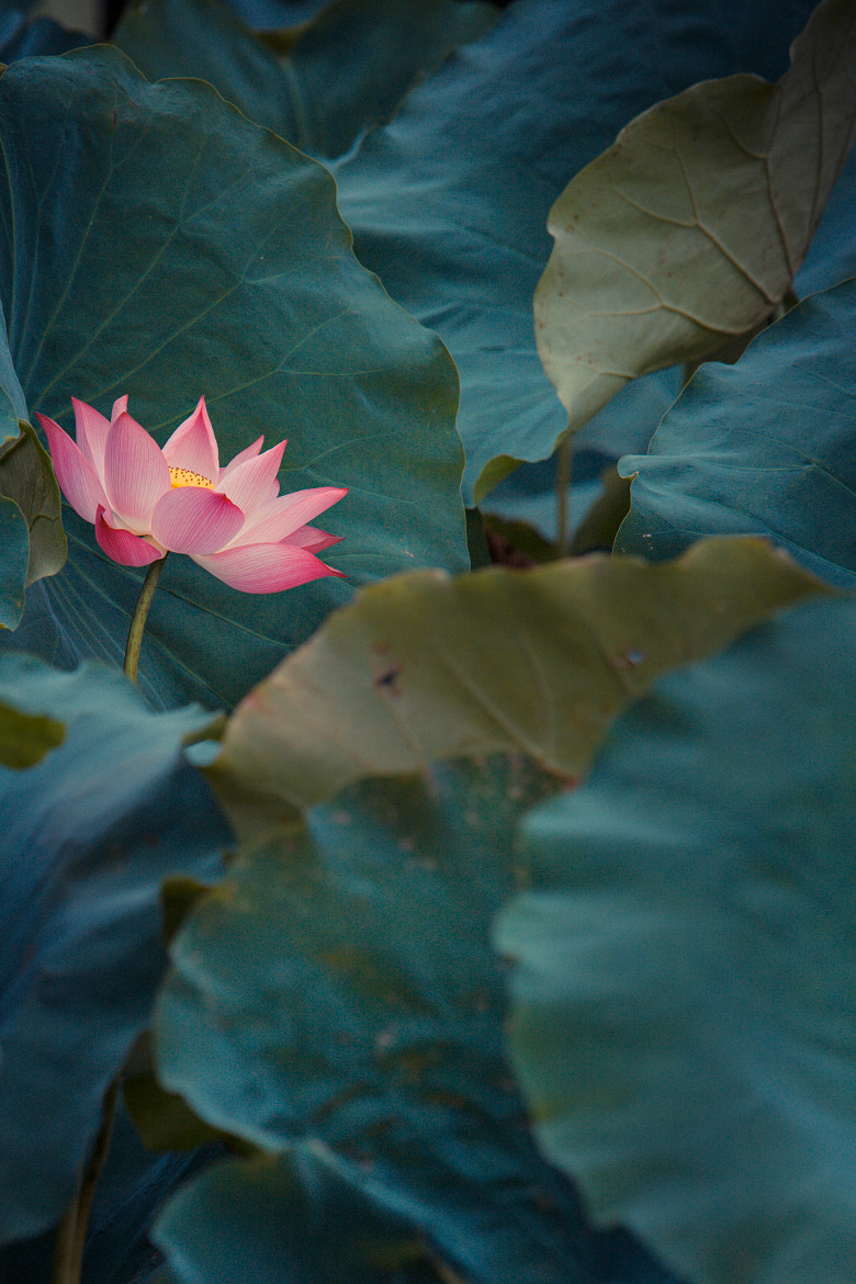 Photograph The lotus flower by Philippe CAP on 500px