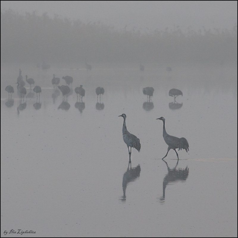 Common Cranes in mist №5