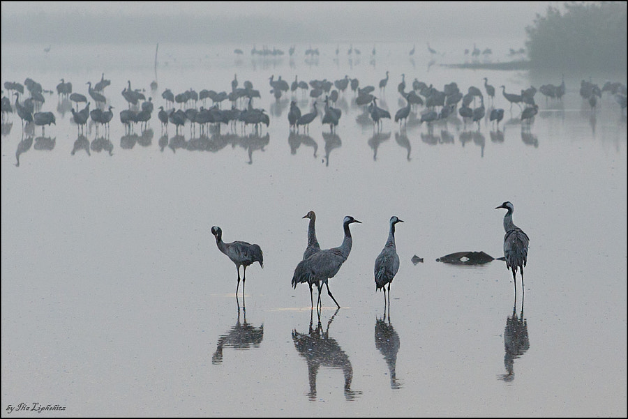 Common Cranes in mist №6