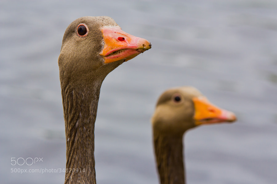 """Greylag geese heads - London, UK  The  waterfowl genus """"Anser"""" (includes all grey geese) contains ten living species, which span nearly the whole range of true goose shapes and sizes. The largest is the Greylag Goose (anser anser) at 2.5 – 4.1 kg, and the smallest is the Ross's Goose at 1.2 – 1.6 kg. All have legs and feet that are pink, or orange, and bills that are pink, orange, or black."""
