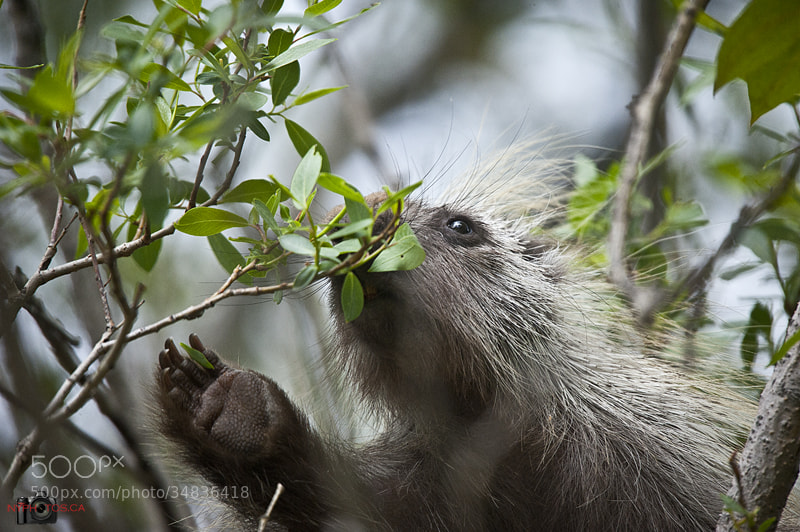 Photograph North American Porcupine (Erethizon dorsatum) by Neil Young on 500px
