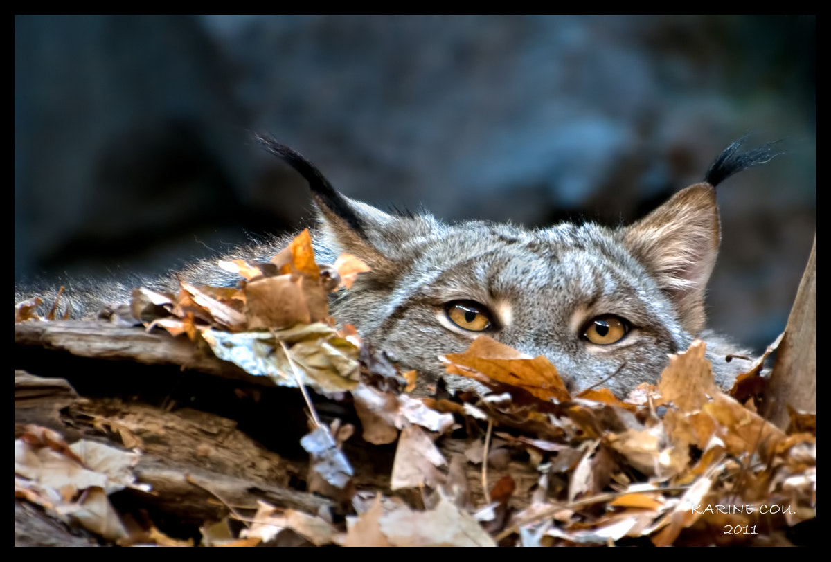 Photograph Lynx du Canada by Karine Cou. on 500px