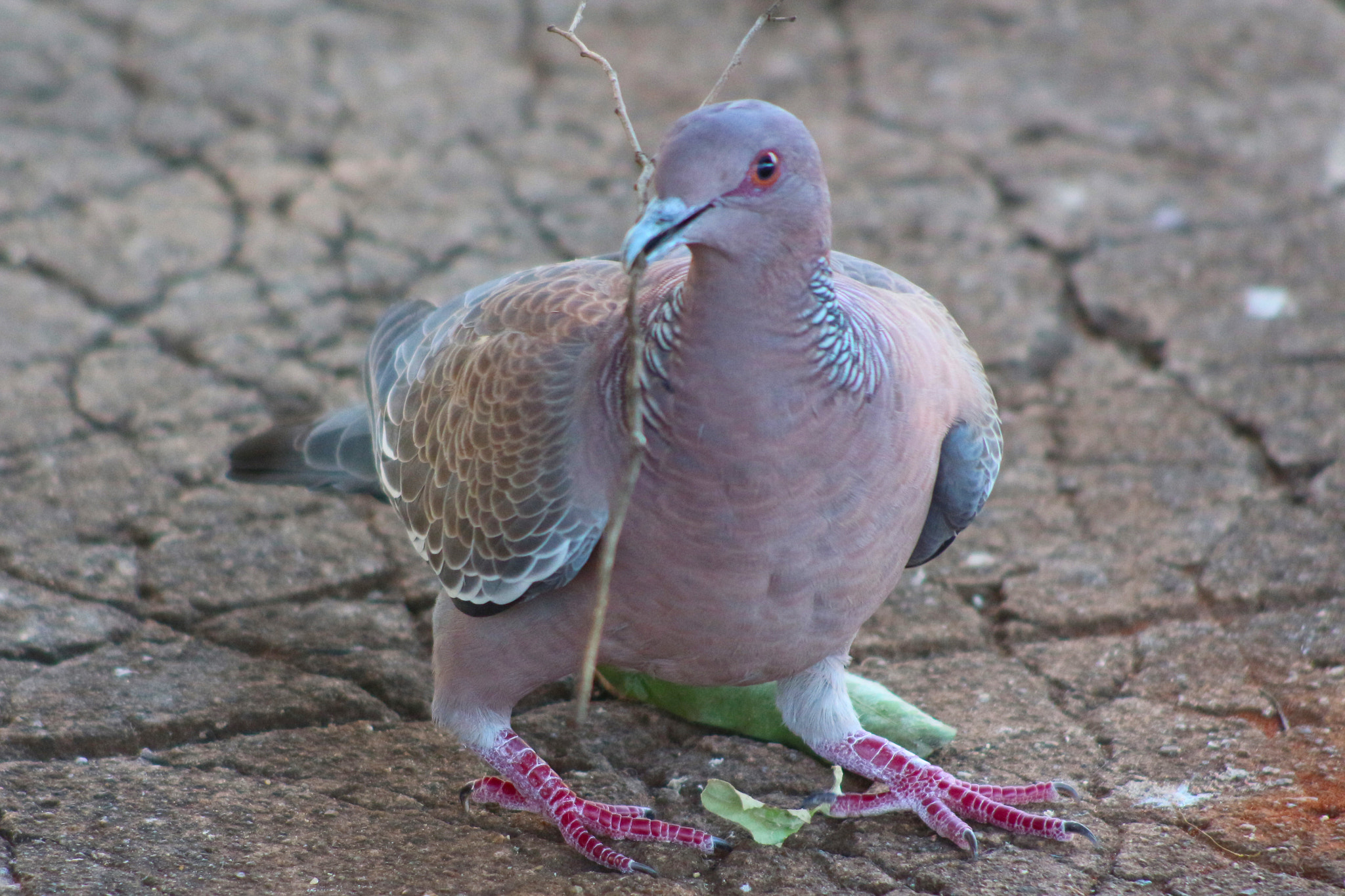Photograph Pigeon by Paulo Henrique Capuzzo on 500px