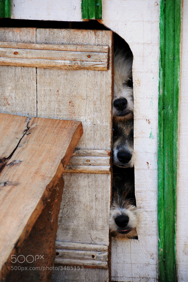 Several cute mutts in a doghouse try and get the best view out the block door of their doghouse.