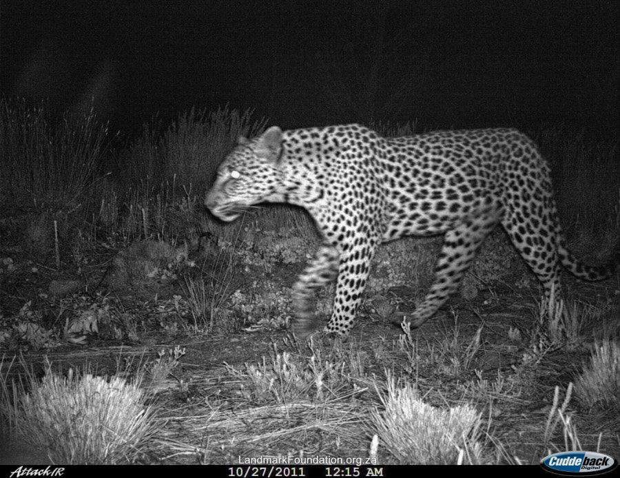 First I have to confess this is not one of my images ( I have permission to use it), but I like to think that I had a little bit to do with it as I purchased one of the remote cameras now being used for research.  This is a CAPE LEOPARD, taken by remote camera in the area near to where I live, I will not be specific as to where it is as there are many very nasty farmers who may want to shoot it.  The research is being undertaken by Landmark Foundation a very worthwhile charity please take a look at their website  http://www.landmarkfoundation.org.za/  to find out more about the valuable work they are doing, and if possible support them.