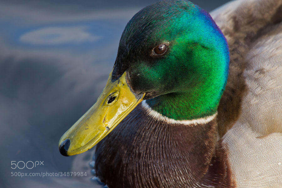 Closeup of a male Mallard on a lake - London, UK  Mallards (anas platyrhynchos) frequently interbreed with their closest relatives in the genus Anas (dabbling ducks), and also with species more distantly related, leading to various hybrids that may be fully fertile. This is quite unusual among different species, and apparently is because the Mallard evolved very rapidly and recently, during the late Pleistocene.