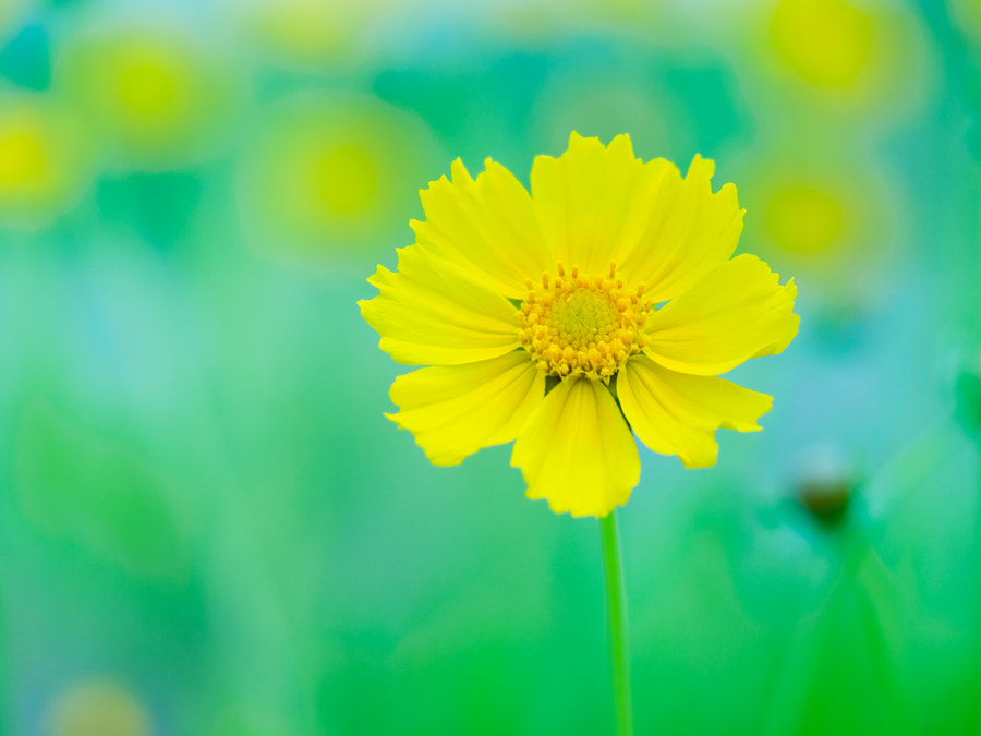 Yellow flower by Yos Kawan on 500px.com