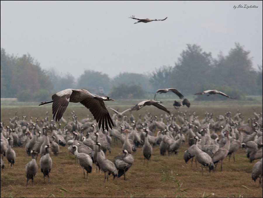 Common Cranes without mist :)