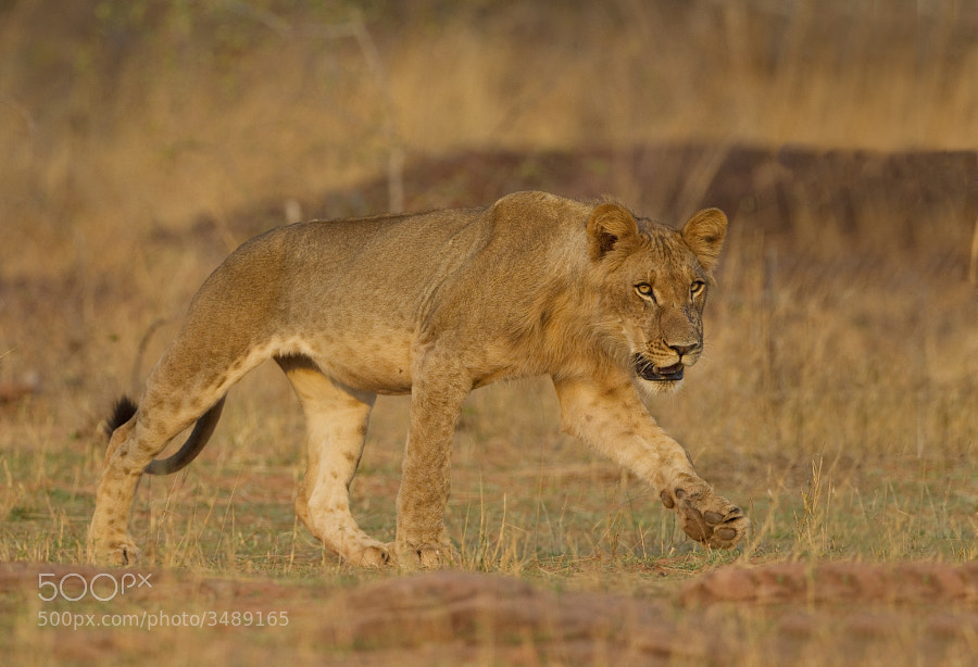From our sunset Lion sighting on the shores of Lake Kariba, Matusadons National Park, Zimbabwe