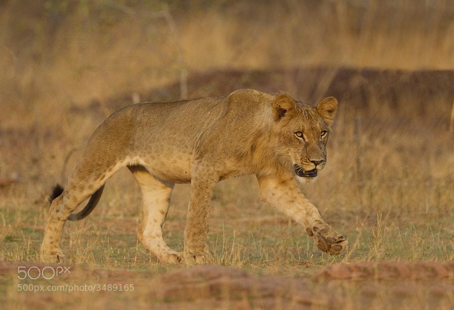 From our sunset Lion sighting on the shores of Lake Kariba, Matusadons National Park, Zimbabwe