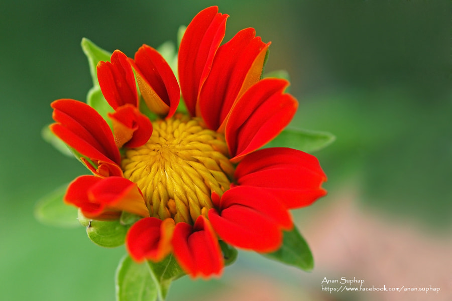 Photograph  Mexican Sunflower Weed by Anan Suphap on 500px