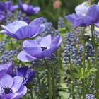 Anemone & Grape Hyacinth