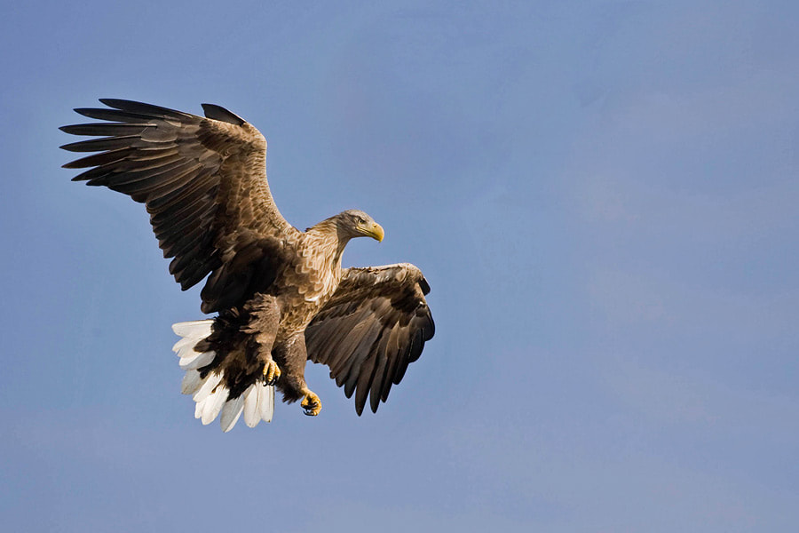 Photograph White-tailed eagle by Johannes Klapwijk on 500px