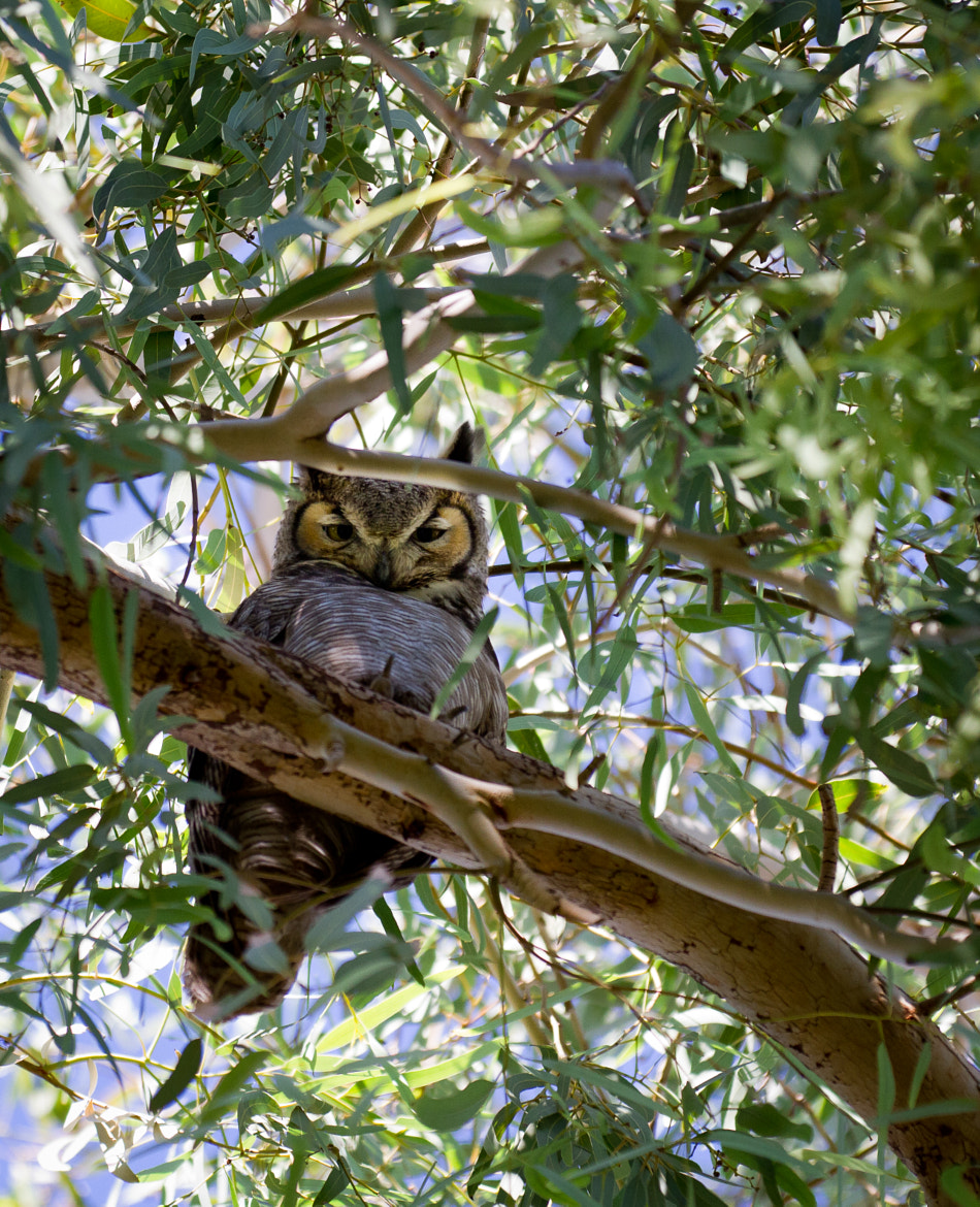 Photograph Female Great Horned Owl by Tiffany Joyce on 500px