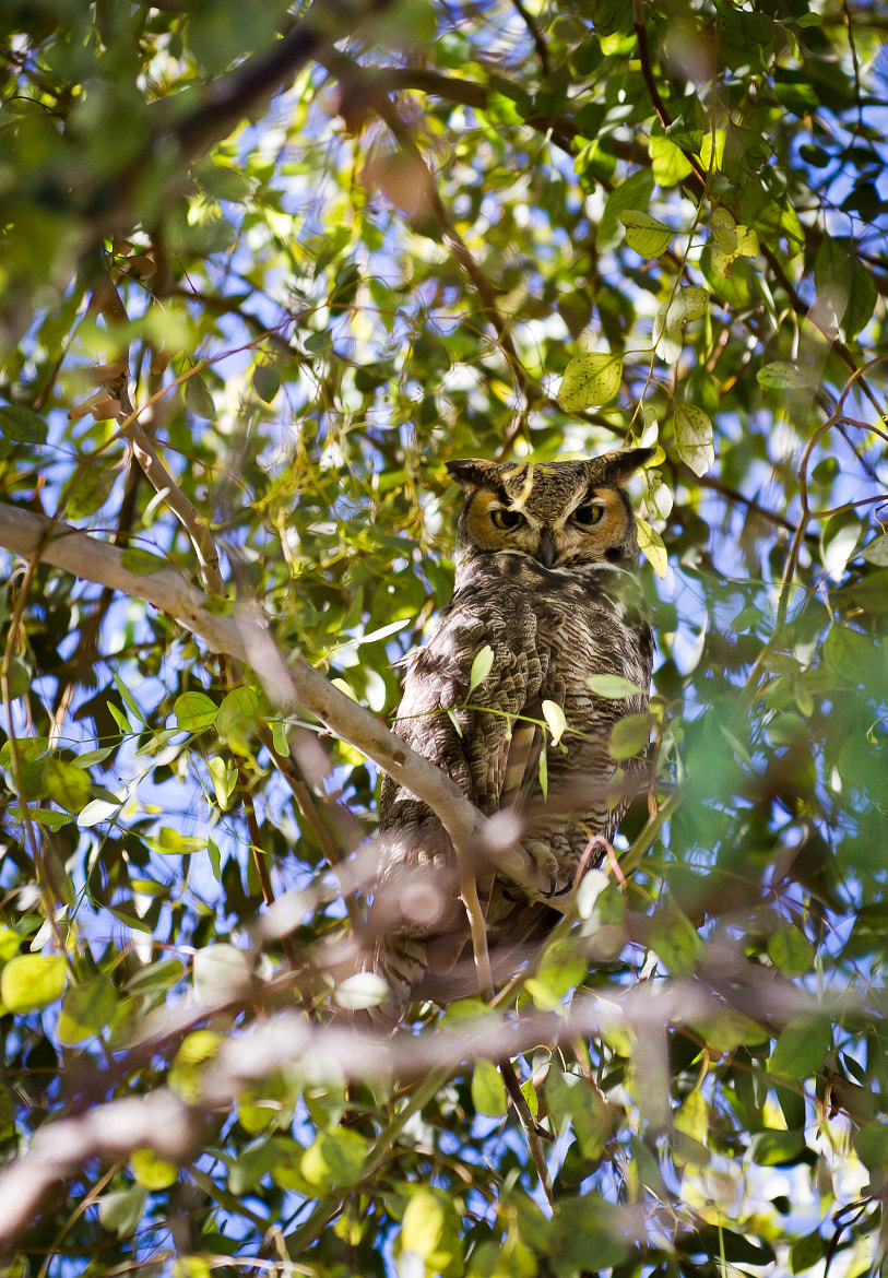 Photograph Male Great Horned Owl by Tiffany Joyce on 500px