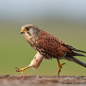 A wild Kestrel covering some ground on foot...